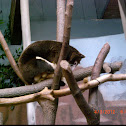 Matschies's tree kangaroo