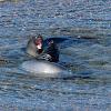 Elefante marino (Southern elephant seal)