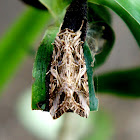 Tropical Armyworm Moth