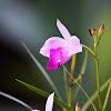 Bambu Orchid