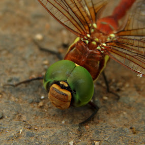 Dragonfly by Mukesh Mishra - Novices Only Macro ( dragonfly photography net green lovely,  )