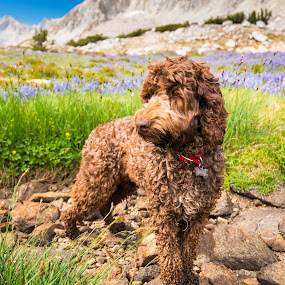 Doodle in the Wilderness by Adam Collins - Animals - Dogs Portraits ( wild flower, chocolate, labradoodle, john muir wilderness, pioneer basin )