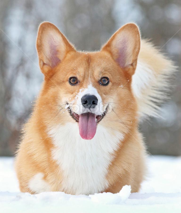 I like snow! by Mia Ikonen - Animals - Dogs Portraits ( canine, winter, pet, happy, pembroke welsh corgi, finland, eager, dog, expressive, mia ikonen )