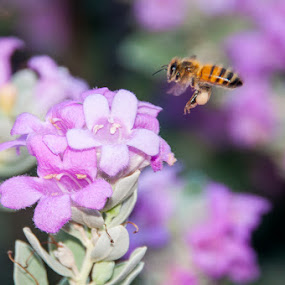 Bee in the Purple Sage by Bob Barrett - Animals Insects & Spiders ( sage, pollen, bee, purple sage, texas purple sage, insect, garden )