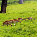 Blackbuck Antelope (Female)