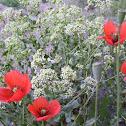 Afghan Horned Poppy