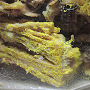 plasmodial slime mold (yellow 2)