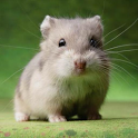 Crazy Hamster Pet icon