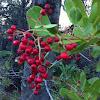 Toyon, Christmas Berry, California Holly