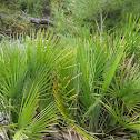 mediterranean dwarf palm; palmito