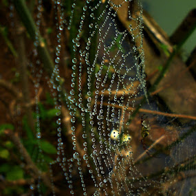 web by Razone Wane - Nature Up Close Webs ( web, spiderweb,  )