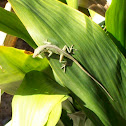 Green anole on cast iron plant