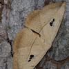 Hook-Tip Moth