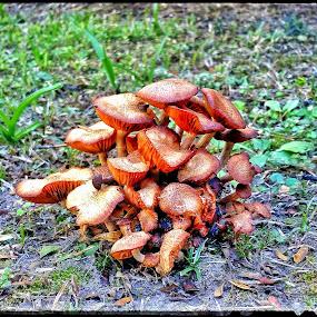 Mushrooms in the back yard by Lance Hammond - Nature Up Close Mushrooms & Fungi ( fungi, nature up close, growing, mushrooms )