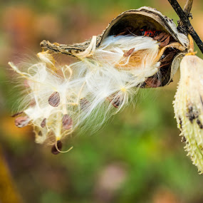 Milkweed by John Ogden - Flowers Flowers in the Wild ( wind, pods, milkweed, seeds, close up )
