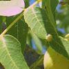 Galls on a leaf