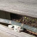 Maine Gray Tree Toad