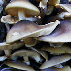 Australian Honey Fungus