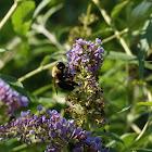 Brown-belted Bumblebee