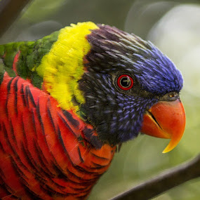 by Amy Woldrich - Animals Birds ( lori, lorikeet, oregonzoo, amywhophoto, arborealparrot, , colorful, mood factory, vibrant, happiness, January, moods, emotions, inspiration )