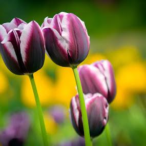 Tulips by Chrysta Rae - Flowers Flower Gardens ( easter flowers, spring flowers, flower garden, spring colorful flowers, flowers, garden, spring, flower )