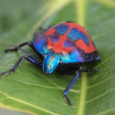 Hibiscus Harlequin Bug or  Cotton Harlequin Bugs
