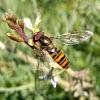 Mosca cernidora, marmalade hoverfly