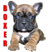 Boxer Dog Fun