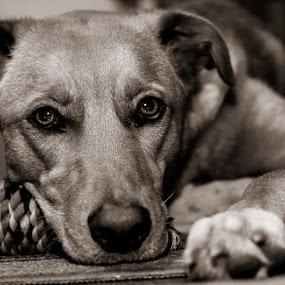 Kimber by Nicole Nichols - Animals - Dogs Portraits ( puppy, dog, , #GARYFONGPETS, #SHOWUSYOURPETS )