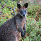 Swamp wallaby or Black wallaby