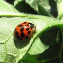 Multi-colored asian ladybug
