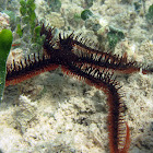 Red Blunt-Spined Brittle Star
