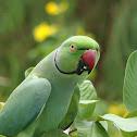 Indian Ringneck / Rose-Ringed Parakeet / Pachai kheli (பச்சை கிளி)