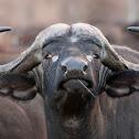 African/Cape Buffalo