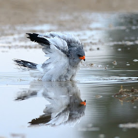 Falcon Bathing by Jan Jacobs - Animals Birds