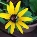 Sweat Bee, Green Metallic Bee