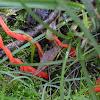 Flame fungus