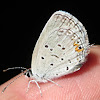 Eastern Tailed-Blue -Butterfly-