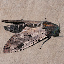Carpenter Moth