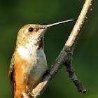 Rufous Hummingbird - Juvenile