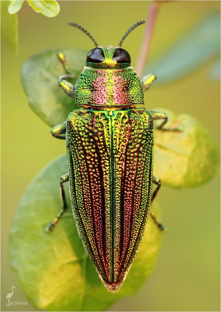 The Real Jewel Beetle