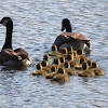 Canada Goose Gang Brood