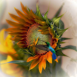 a moment in time by John Kolenberg - Uncategorized All Uncategorized ( jardine, mexico, hummingbird, sunflower, garden, girosol, hope )