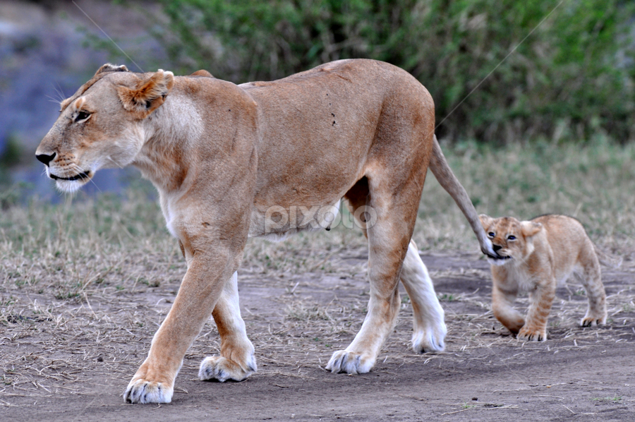 My new Toy by Rajat Sethi - Animals Lions, Tigers & Big Cats ( lioness, masai mara, wildlife, cubs, africa,  )