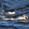 Common Mergansers