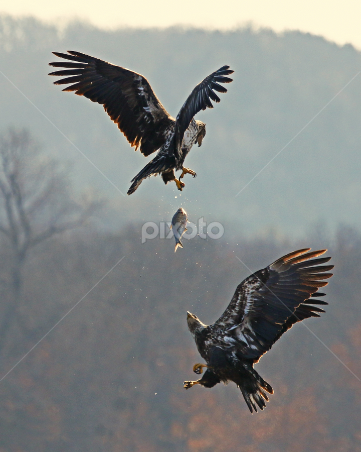The One That Got Away by Dave Hollub - Animals Birds ( bald eagle,  )