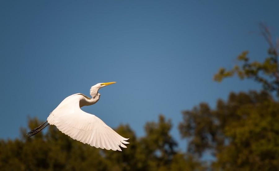 Taking Flight  by Sabrina Causey - Animals Birds ( bird, flying, flight, sky, crane,  )