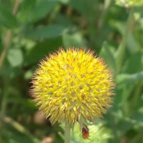 by Mallikarjun Nath - Flowers Single Flower