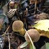 Bulbous Honey Mushroom