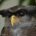 Barred Eagle Owl (Malay Eagle Owl)